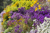 Aster border, Rudbeckia fulgida var. deamii, Helenium 'Sahin's Early Flowerer', Symphyotrichum novi-belgii 'White Ladies', 'Erica' and 'Shaggy Pink' syn. aster, Solidago 'Golden Shower', Helianthus 'L...
