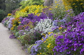 Aster border, Helianthus 'Lemon Queen', Helenium 'Sahin's Early Flowerer' and 'Pumilum Magnificum', Symphyotrichum novi-belgii 'Marie Ballard' syn. aster, Aster amellus 'King George', Aster novi-belgi...