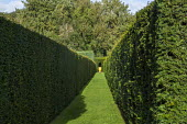 View along clipped yew hedges to container