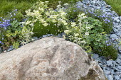Rock, slate chippings, Edelweiss, campanula
