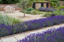 Wooden bench on Breedon gravel terrace, Festuca mairei, Lavandula angustifolia 'Hidcote', Perovskia 'Blue Spire', olive tree