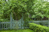Green painted picket fence and gate, cornus, box hedge