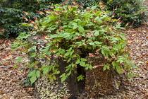 Ipomoea lobata syn. Quamoclit lobata climbing over old tree stump