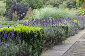 Lavender and clipped box cubes edging border