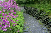 Hesperis matronalis violet, Alchemilla mollis, Nepeta racemosa 'Walker's Low' slate wall and path