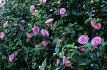 Camellia williamsii 'Debbie'