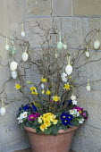 Easter decoration, eggs on branches of Corylus avellana 'Contorta' in container with daffodils and primroses