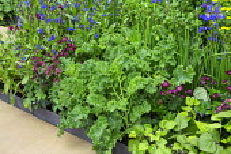 Kale 'Dwarf Green Curled', Iris 'Tropic Night', Anchusa azurea 'Loddon Royalist', Astrantia major 'Gill Richardson'
