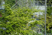 Euonymus alatus 'Compactus', metal screen made from recycled shopping trolleys