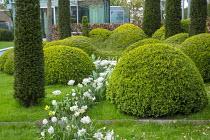 Ribbon of Tulipa 'Casablanca', cloud-pruned box hedge, yew columns