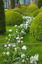 Drift of Tulipa 'Casablanca', cloud-pruned box hedge