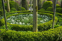 Narcissus 'Petrel' and Asarum europaeum in box-edged circular border, cloud-pruned box topiary, pollarded Tilia cordata
