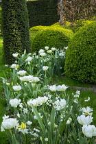 Tulipa 'Casablanca', Narcissus 'Ice Wings', Leucojum aestivum, cloud-pruned box hedge, yew column