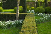 Clipped yew hedges, cloud-pruned box hedge, drift of Narcissus 'Thalia' and Tulipa 'Casblanca'