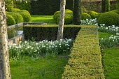 Clipped yew hedge, 'river' of bulbs, Narcissus 'Thalia' and Tulipa 'Casblanca'