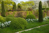 Cloud-pruned box, yew columns, hornbeam hedge, Tulipa 'Casablanca', Narcissus 'Thalia'