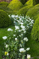 Tulipa 'Casablanca', Narcissus 'Ice Wings', cloud-pruned box hedge