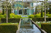Yew hedge enclosing formal raised pond, Tulipa 'Casablanca', pleached apple trees, cloud-pruned box hedges, view to house
