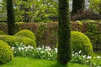 Tulipa 'Casablanca', cloud-pruned box hedge, yew columns