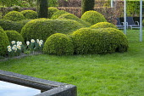 Cloud-pruned box hedge, narcissus