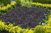 Rows of lettuce, clipped box edging, square border