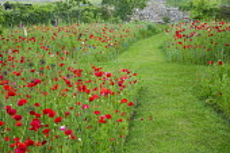 Mown grass path through Papaver rhoeas meadow