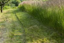 Mown path through long grass, drift of Calamagrostis x acutiflora 'Karl Foerster'