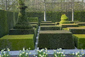Contemporary topiary garden, Narcissus 'Jack Snipe'