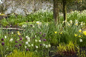 Fritillaria meleagris and Narcissus 'Jack Snipe' by pond