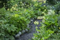 Primula florindae, path edged with stones