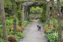Rustic wooden pergola, erythroniums, anemones, dog on brick path