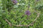 Perennials growing through natural twig plant support, alliums