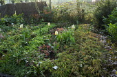 Nursery stock beds in spring, epimediums, tulips