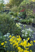 Nursery sales area, narcissus, choisya