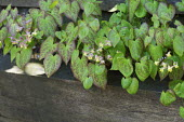 Epimedium x versicolor in raised bed