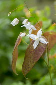 Epimedium 'Arctic Wings'