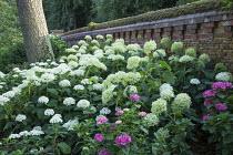 Hydrangea arborescens 'Annabelle' in border by brick wall