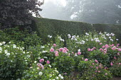 Dahlias in border in front of clipped yew hedge