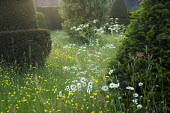 Buttercups, Leucanthemum vulgare and Anthricus sylvestris in wildflower meadow, yew topiary