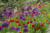 Allium hollandicum 'Purple Sensation', Papaver commutatum 'Ladybird'