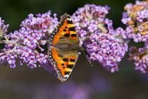 Small Tortoiseshell butterfly, Aglais urticae, on buddleia
