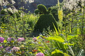 Yew topiary in cottage garden border, verbascum, thalictrum, hydrangea