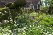 Large yew topiary, cottage garden border, Allium hollandicum 'Purple Sensation', Leucanthemum vulgare, thalictrum