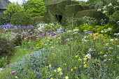 Cottage garden, aquilegia, Crambe cordifolia, Anthriscus sylvestris, poppies, Allium hollandicum 'Purple Sensation', yew hedge