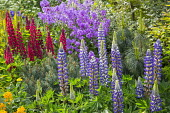 Lupinus 'The Governor' and 'The Page' (Band of Nobles Series), Hesperis matronalis, Anthriscus sylvestris