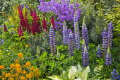 Lupinus 'The Governor' and 'The Page' (Band of Nobles Series), Hesperis matronalis, Anthriscus sylvestris, hosta