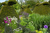 Large yew topiary in border, aquilegia