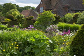 Large yew topiary in cottage garden border, Allium hollandicum 'Purple Sensation'