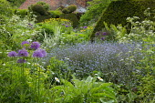 Cottage garden border, myosotis, Anthriscus sylvestris, large yew topiary
