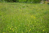 Wildflower meadow with buttercups